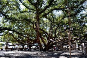 Big Banyan tree in Maui