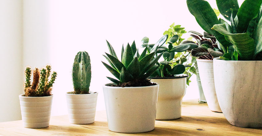 Succulents and cacti in white pots on wooden table